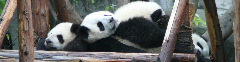 LuoLin | Panda Wielka w Chengdu